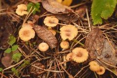 Грибы в расчистке в лесе гриба осени Стоковые Фото