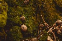 Грибы в расчистке в лесе гриба осени Стоковые Фотографии RF