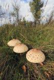 Грибы в траве Стоковое фото RF