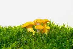 грибы гриба лисички Стоковые Фотографии RF