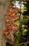 Грибы грибка меда Стоковая Фотография RF