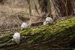Грибы дерева Стоковое Изображение RF