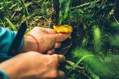 Грибы лисички желтые в руке женщины стоковое изображение