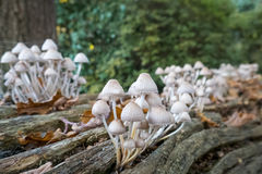 Грибы или грибки растя из упаденного, тухлого журнала Стоковые Изображения
