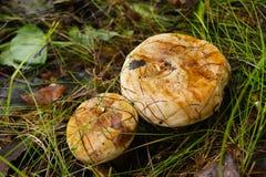 Грибы, который выросли после дождевого леса Стоковая Фотография