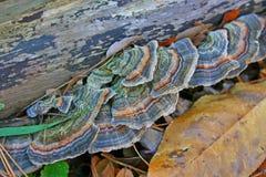 грибы кронштейна Стоковые Фотографии RF