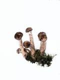 грибы меда предпосылки грибные белые Стоковые Изображения