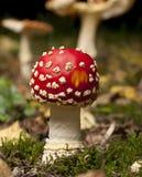 грибы мухы amanita agaric Стоковые Фотографии RF