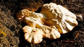Грибы мясистые, тело спор-подшипника приносить грибка стоковое фото
