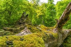 Грибы на дереве на Uracher Wasserfälle, плохом Urach, Германии Стоковое Изображение