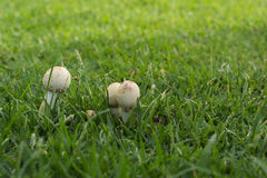 Грибы на траве Стоковая Фотография RF