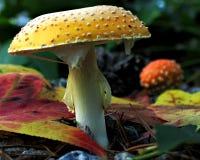 грибы падения Стоковое Изображение