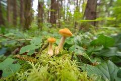 Грибы пластинчатого гриба меда в лесе осени Стоковое фото RF