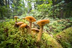 Грибы пластинчатого гриба меда в лесе осени Стоковые Изображения RF