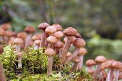 Грибы пластинчатого гриба меда растут на дереве в лесе осени Стоковые Фотографии RF