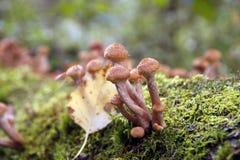 Грибы пластинчатого гриба меда растут на дереве в лесе осени Стоковые Изображения RF