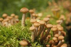 Грибы пластинчатого гриба меда растут на дереве в лесе осени Стоковое фото RF