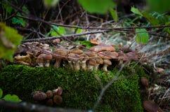 Грибы пластинчатого гриба меда Съестные грибы в пуще стоковое фото