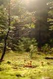 Грибы под сосной Стоковые Изображения RF