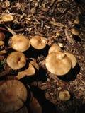 грибы пущи растущие одичалые Стоковые Изображения RF