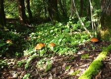 грибы пущи стоковые фотографии rf