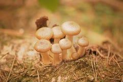 Грибы пластинчатого гриба меда Стоковые Изображения RF