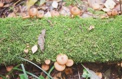 Грибы пластинчатого гриба меда Стоковое фото RF