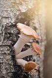 Грибы пластинчатого гриба меда Стоковые Изображения