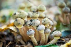 Грибы пластинчатого гриба меда Стоковое Фото