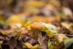 Грибы пластинчатого гриба меда Стоковые Фото