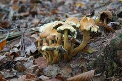 Грибы пластинчатого гриба меда Стоковая Фотография RF