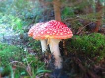 Грибы пластинчатого гриба мухы Стоковое Изображение