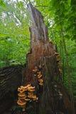 Грибы пластинчатого гриба Стоковое Изображение