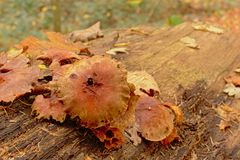 Грибы распадаться Брауна на мертвом стволе дерева пол леса стоковая фотография