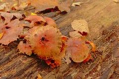 Грибы распадаться Брауна на мертвом стволе дерева пол леса стоковая фотография rf
