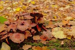 Грибы распадаться и листья осени на поле леса стоковая фотография rf