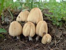 грибы слюды крышки Стоковая Фотография RF