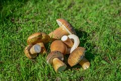 Грибы собрали в лесе на траве Стоковое Фото