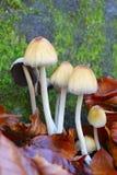 Грибы среди коричневых листьев Стоковые Фотографии RF