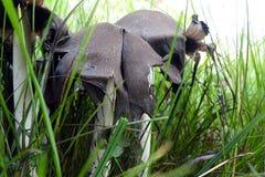 Грибы с чернильными крышками в траве Стоковое Фото