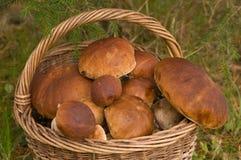 грибы урожая Стоковая Фотография