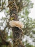 Грибы устрицы на дереве Стоковая Фотография RF