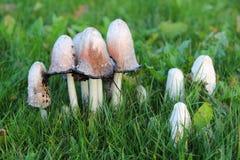 Грибы чернильного гриба растя в траве на лужайке Стоковая Фотография