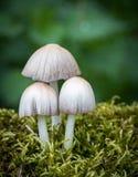 Грибы чернильного гриба в мхе Стоковые Фотографии RF