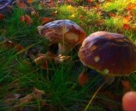 грибы 2 Стоковое фото RF