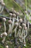 Грибы (disseminatus чернильного гриба) на пне Стоковые Изображения RF