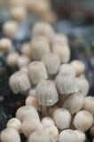 Грибы (disseminatus чернильного гриба) на пне Стоковое Фото