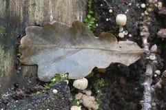 Грибы (disseminatus чернильного гриба) на пне Стоковое Изображение RF