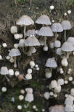 Грибы (disseminatus чернильного гриба) на пне Стоковая Фотография RF