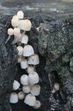 Грибы (disseminatus чернильного гриба) на пне Стоковое Изображение